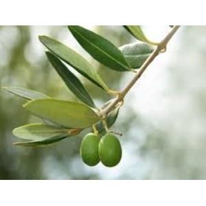 Frunzele de măslin
