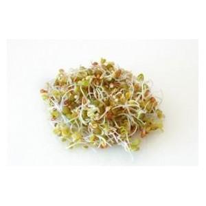 Quinoa Germinata